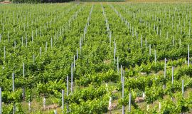 Vineyard in full explosion of color, lerida royalty free stock photos