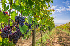 Vineyard full of ripe grapes in Tuscany Royalty Free Stock Photography