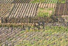 Vineyard in Galicia, Spain Royalty Free Stock Photos