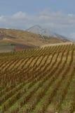 Vineyard on gentle slope in Etna region, Sicily Stock Images