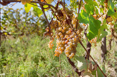 Vineyard in Georgia with grapes ripening on branch of the farm. Harvest time. Stock Photos