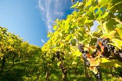 Vineyard in Germany Royalty Free Stock Photo