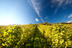 Vineyard in Germany. German Vineyard on a sunny day in autumn Royalty Free Stock Image