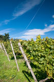 Vineyard in Germany Stock Images