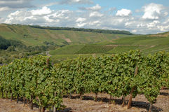 Vineyard in Germany. Several vineyards in a valley in the Moselle region in Germany Stock Photos