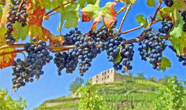Vineyard in germany Royalty Free Stock Images