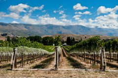 Vineyard in Gibbston Valley. Central Otago, New Zealand royalty free stock photography