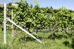 Vineyard in Girlan at the South Tyrol Stock Photos