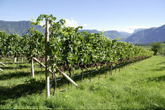 Vineyard in Girlan at the South Tyrol Royalty Free Stock Photo