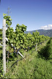Vineyard in Girlan at the South Tyrol Royalty Free Stock Photos