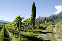 Vineyard in Girlan at the South Tyrol Stock Images