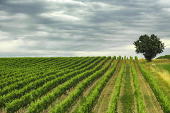 Vineyard in Gironde (Aquitaine) Royalty Free Stock Photo
