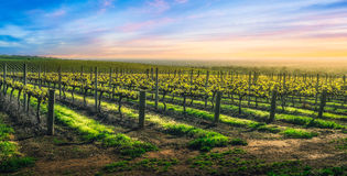 Vineyard Glory Royalty Free Stock Image