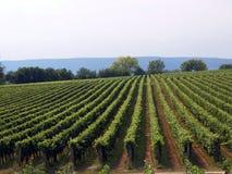 Vineyard in God's garden Stock Photos
