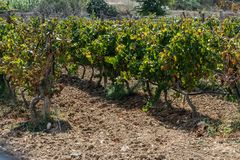 Vineyard in Gozo. Horizontal. space for text. stock photo