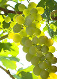 Vineyard Grape royalty free stock photos