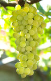 Vineyard Grape Royalty Free Stock Photography