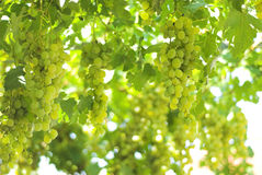 Vineyard Grape Stock Image