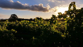 Vineyard grape agriculture sunset. Agriculture Vineyard grape sunset. Grapes are used to make wine stock video