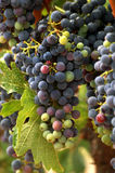 Vineyard Grape Cluster. A cluster of ripening grapes in the vinyard Stock Photos