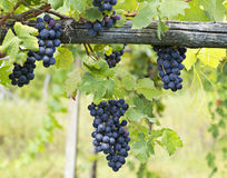 Vineyard grape cluster. Barbera Stock Photos