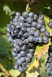 Vineyard grape cluster. Barbera Royalty Free Stock Image