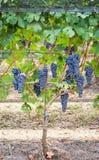 Vineyard grape cluster Royalty Free Stock Photos