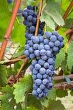 Vineyard grape cluster Stock Photography