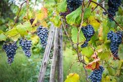 Vineyard grape cluster Stock Image