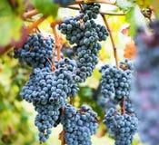 Vineyard grape cluster Royalty Free Stock Images
