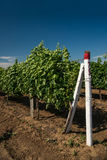 Vineyard, grape cultivation, vine Stock Photo