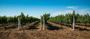 Vineyard, grape cultivation, vine Stock Photography