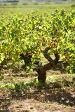 Vineyard, grape fields in mediterranean Spain Royalty Free Stock Image
