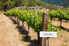 Vineyard Grape Growing Stock Image