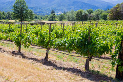 Vineyard Grape Growing. Zinfandel grapes are grown at this winery and vineyard in Southern Oregon Royalty Free Stock Images