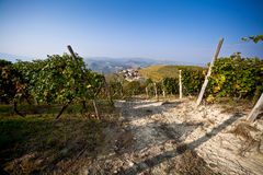 Vineyard, grape harvest. Stock Photography