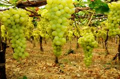 Vineyard, grape harvest Stock Images