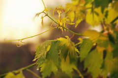 Vineyard, grape leaves and vines at sunset, Stock Photo