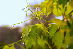 Vineyard, grape leaves and vines at sunset, Royalty Free Stock Images