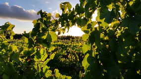 Vineyard grape sunset landscape. Wine Vineyard sunlight through grape leaves stock video footage