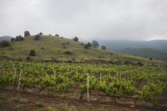 Vineyard. Grape trees farm. Stock Photo