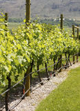Vineyard Grape Vines British Columbia Stock Images