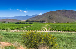 Vineyard of grape vines close to Montague, Western Cape in South Royalty Free Stock Photos