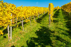 Vineyard with grape vines in yellow autumn foliage Royalty Free Stock Photos