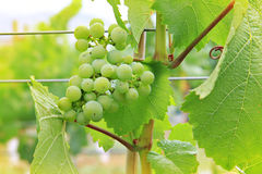 Vineyard grapes Stock Photo