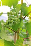 Vineyard grapes Royalty Free Stock Photo