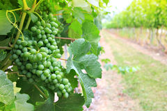 Vineyard grapes Royalty Free Stock Photography