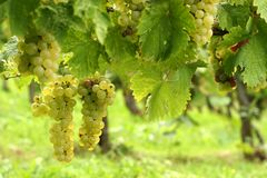 Vineyard and grapes Royalty Free Stock Photos