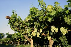 Vineyard with grapes Royalty Free Stock Images