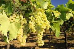 Vineyard and grapes Royalty Free Stock Image